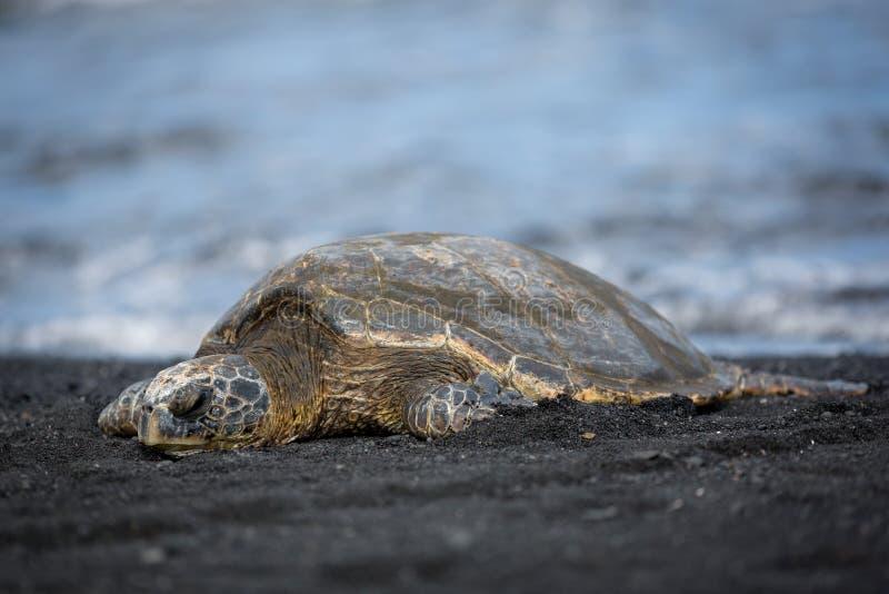 Tortuga de mar verde en la playa negra de la arena en Hawaii island1 grande fotos de archivo
