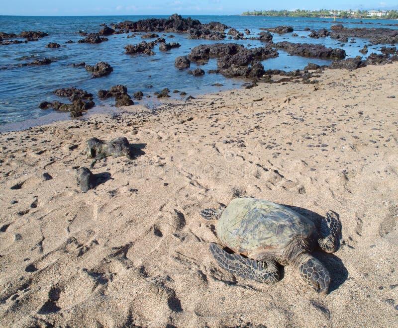 Tortuga de mar verde hawaiana (honu, mydas del Chelonia) imágenes de archivo libres de regalías