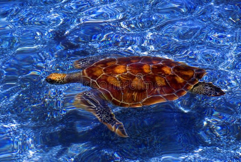 Tortuga de mar verde, las Islas Galápagos fotos de archivo libres de regalías