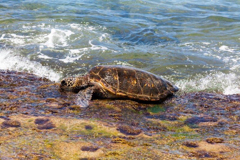 Tortuga de mar verde que se arrastra sobre orilla imagenes de archivo