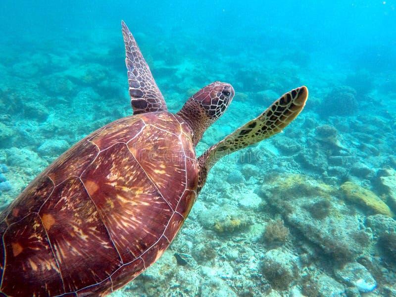 Tortuga de mar verde sobre la parte inferior del arrecife de coral y de mar imágenes de archivo libres de regalías
