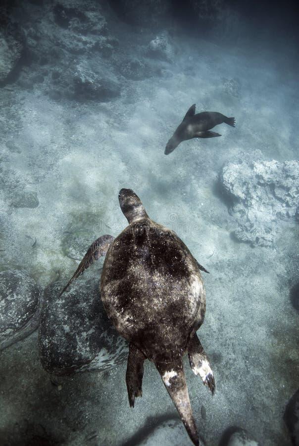 Tortuga de mar verde y león marino de las Islas Galápagos que nada bajo el agua fotos de archivo
