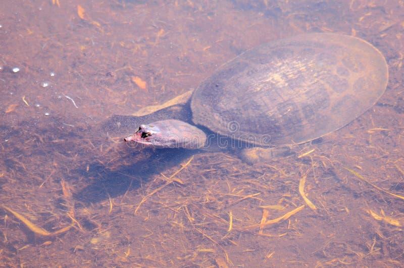 Tortuga de Softshell en agua imagen de archivo
