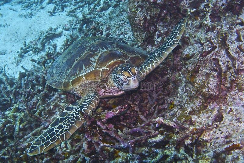 Tortuga del Hornbill de la isla de Balicasan, Filipinas imagen de archivo libre de regalías