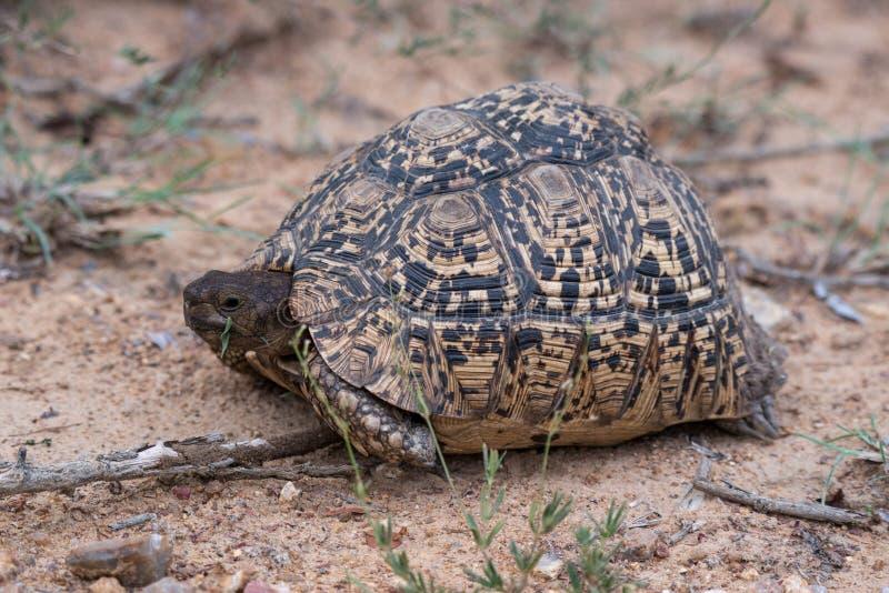Tortuga del leopardo imagen de archivo libre de regalías