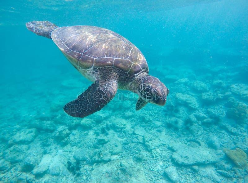 Tortuga del mar en agua azul Tortuga verde verde oliva en el mar tropical El bucear en Filipinas fotos de archivo libres de regalías