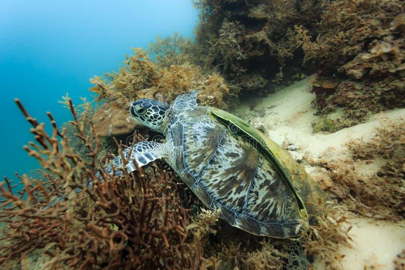 Tortuga del Mar Negro de los mydas del Chelonia en el arrecife de coral en la consumición de Filipinas imagenes de archivo