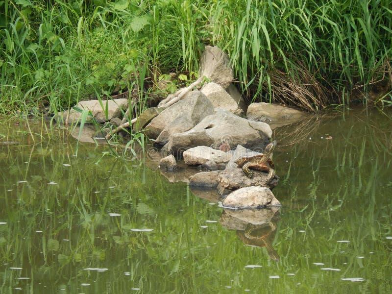 Tortuga del Mississippian encontrada en el río checo fotos de archivo