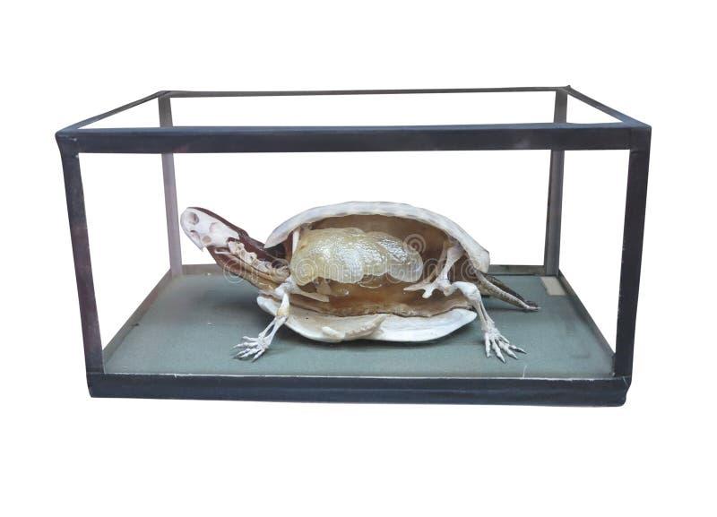 Tortuga Disecada Con El Interior Del Esqueleto Aislado Sobre Blanco ...