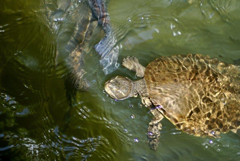 Tortuga en Barron River fotografía de archivo