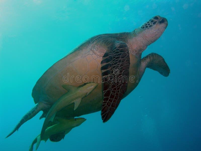 Tortuga en el Mar Rojo fotografía de archivo libre de regalías