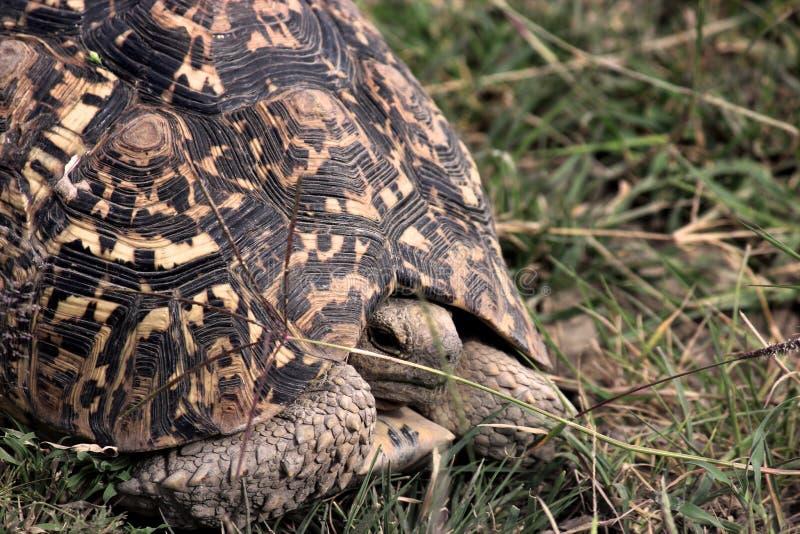 Tortuga en el parque nacional de Tanzania fotografía de archivo