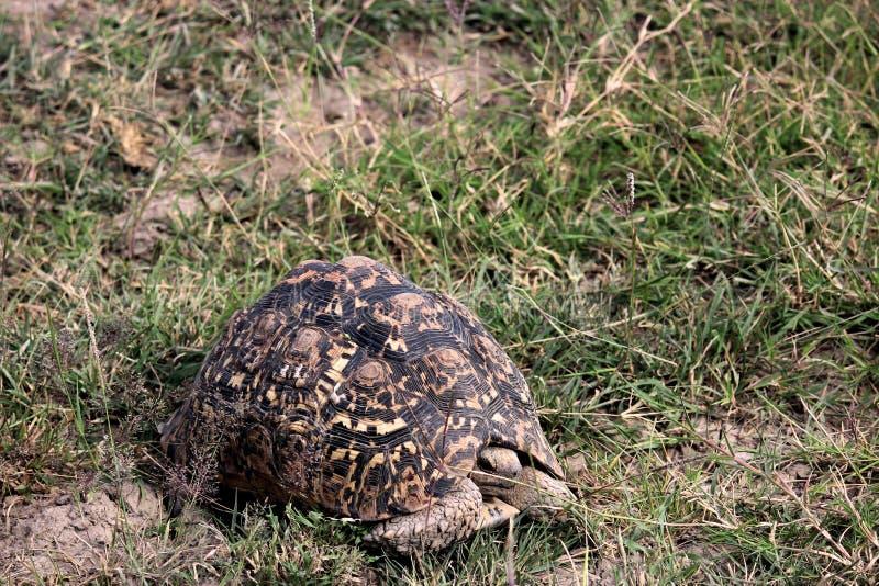 Tortuga en el parque nacional de Tanzania foto de archivo