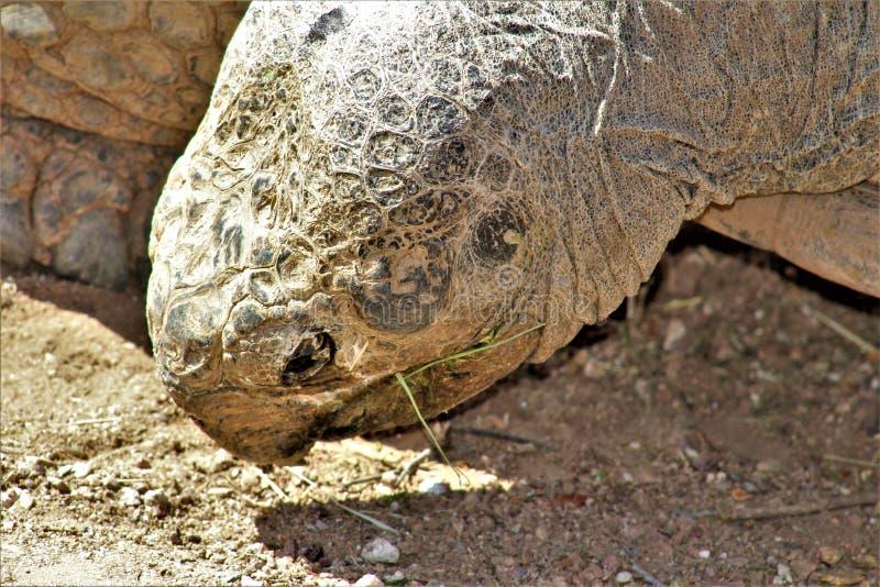 Tortuga en el parque zoológico de Phoenix, centro para la protección de naturaleza, Phoenix, Arizona, Estados Unidos de las Islas fotografía de archivo