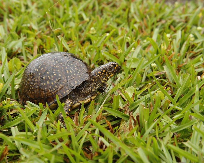 Tortuga en la hierba foto de archivo