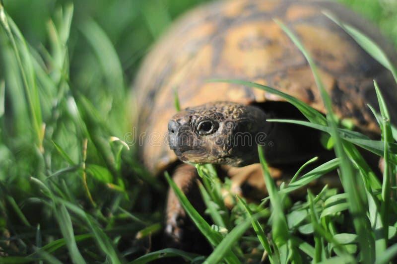 Tortuga en la hierba que mira lejos foto de archivo