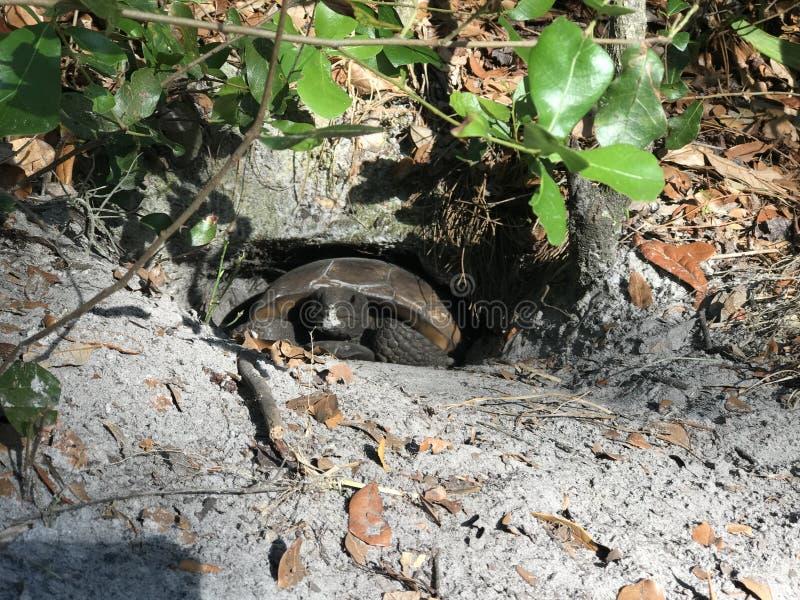 Tortuga en un agujero tortuga que oculta en un agujero cavado en un parque imagen de archivo libre de regalías