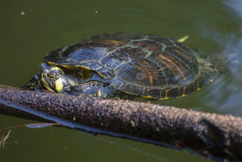 Tortuga en un lago con agua verde imagen de archivo libre de regalías