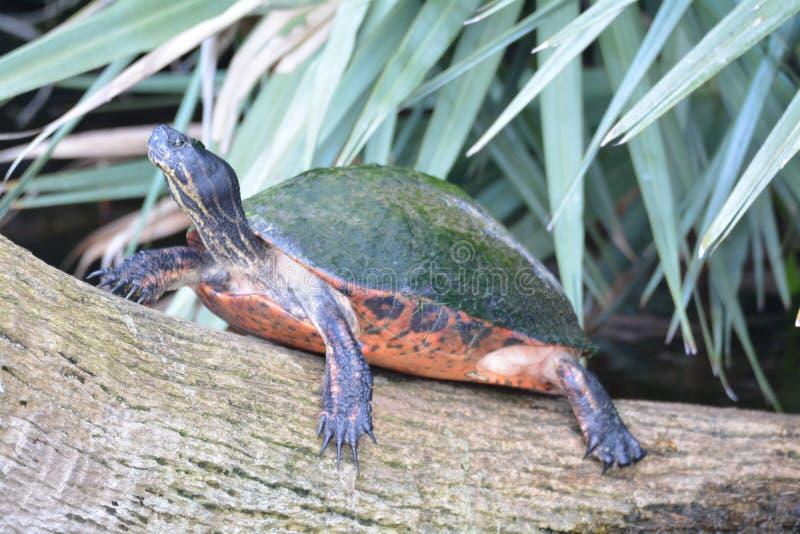 Tortuga en una reserva natural en la Florida fotos de archivo libres de regalías