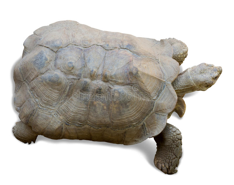 Download Tortuga Estimulada Africana Foto de archivo - Imagen de tortuga, aislado: 41921286