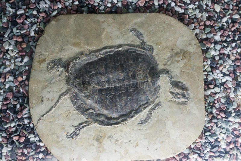 Tortuga fósil foto de archivo