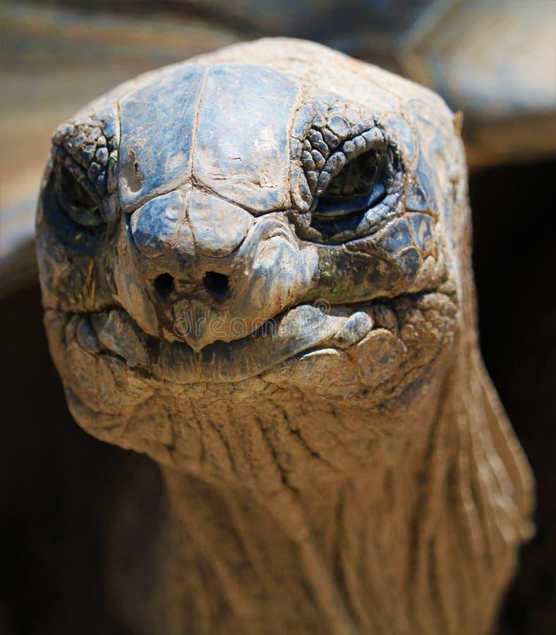 Tortuga gigante de Aldabra fotografía de archivo libre de regalías