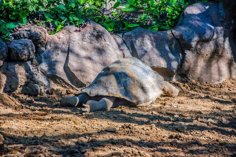 Tortuga gigante de las Islas Galápagos, nigra de Chelonoidis en Loro Parque, Tene imágenes de archivo libres de regalías