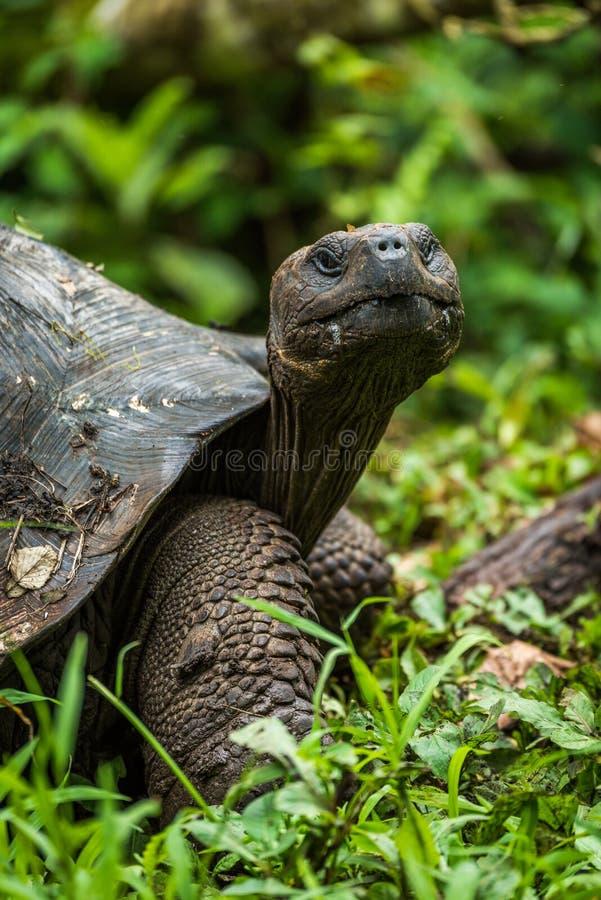 Tortuga gigante de las Islas Galápagos que mira derecho la cámara foto de archivo