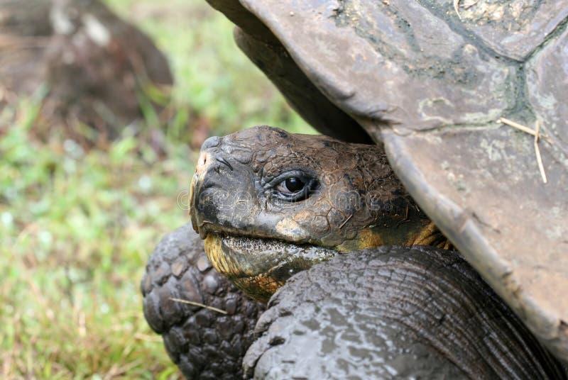 Tortuga gigante de las Islas Gal3apagos foto de archivo libre de regalías