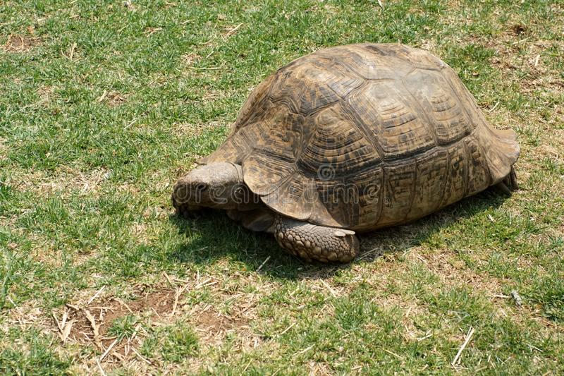 Tortuga gigante en la hierba fotos de archivo