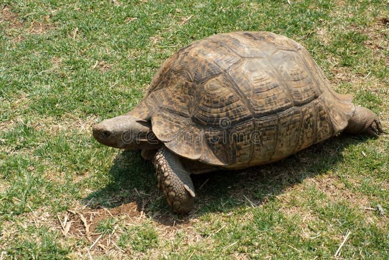 Tortuga gigante en la hierba fotografía de archivo