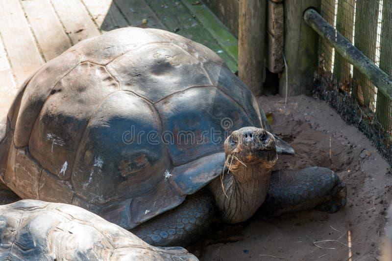 Tortuga gigante en parque zoológico fotografía de archivo libre de regalías