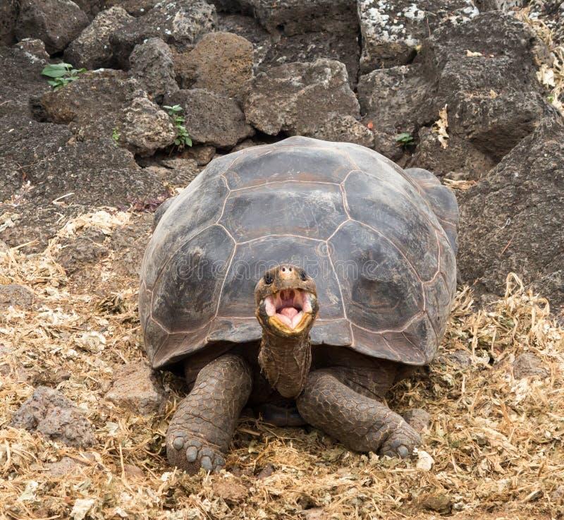 Tortuga gigante grande de las Islas Galápagos fotos de archivo libres de regalías