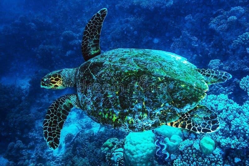 Tortuga grande bajo la superficie del mar foto de archivo libre de regalías