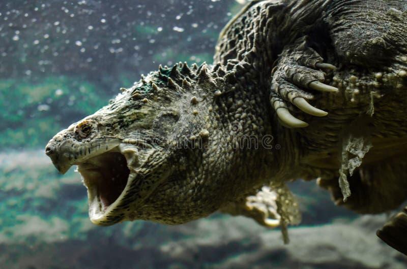 Tortuga grande del caimán con nadadas abiertas de la boca bajo cierre del agua para arriba imagenes de archivo