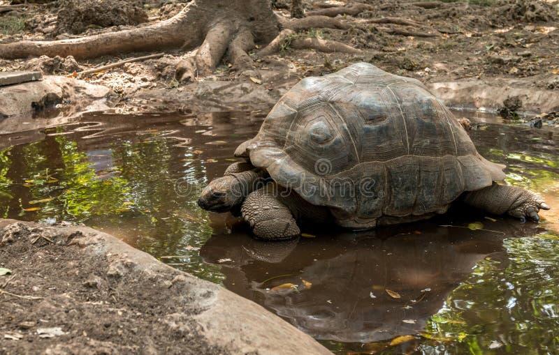 Tortuga grande en la isla de la tortuga, Zanzíbar imágenes de archivo libres de regalías
