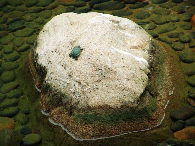 Tortuga minúscula en una roca fotos de archivo libres de regalías