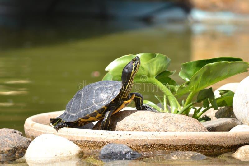 Tortuga modelo. Tortuga tomando los últimos rayitos del sol de verano royalty free stock photo