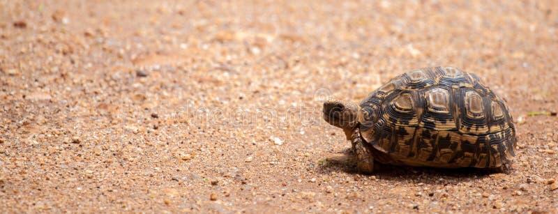Tortuga que camina sobre el camino, en safari en Kenia fotos de archivo