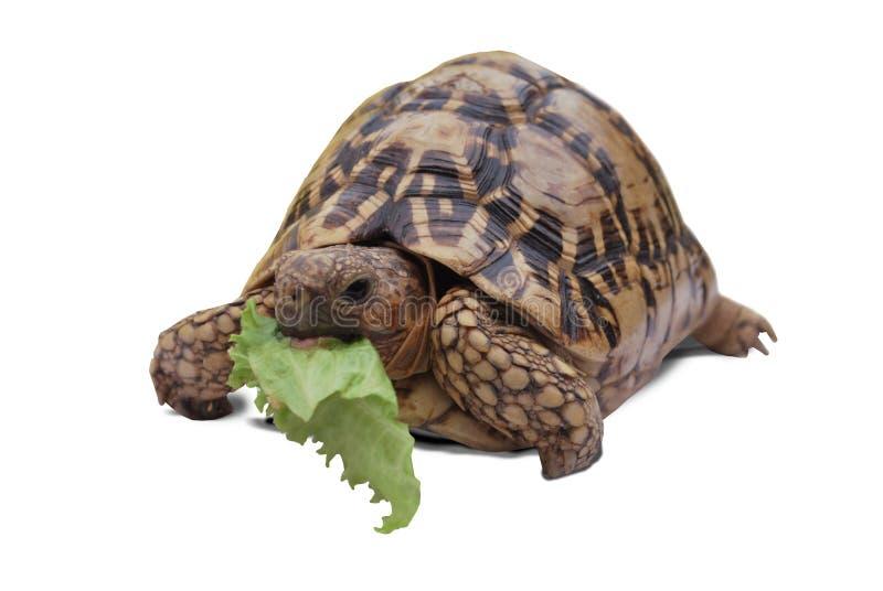 Tortuga que come lechuga imagenes de archivo