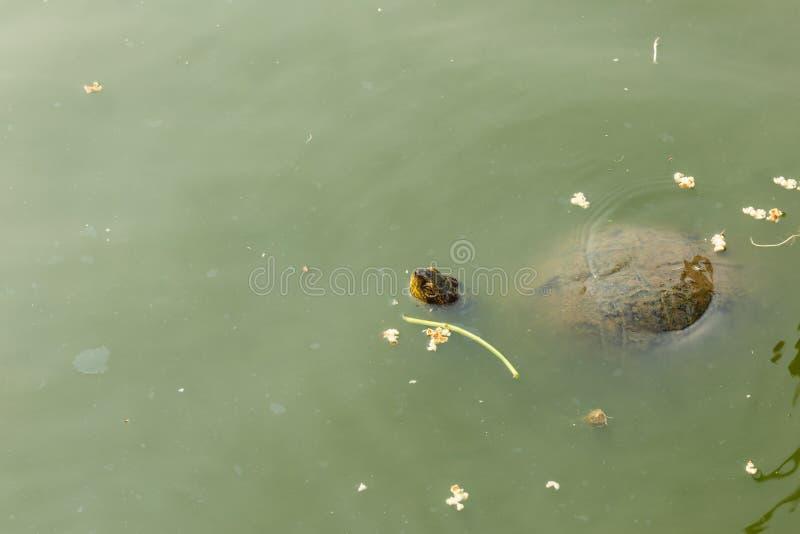 Tortuga que mira a escondidas del agua sucia foto de archivo