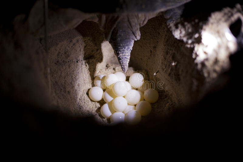 Tortuga que pone los huevos. fotografía de archivo
