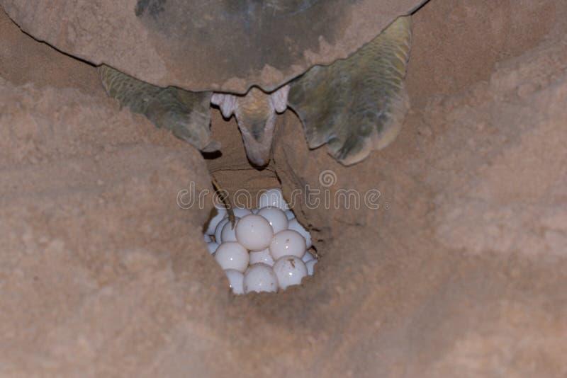 Tortuga que pone los huevos en la isla desnuda de la arena, Australia foto de archivo