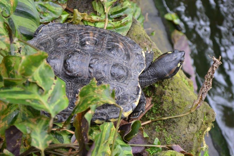 Tortuga que se enfría en el riverbank imagenes de archivo