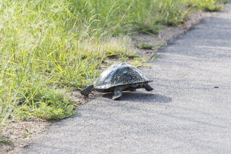 Tortuga que se escapa de la calle dentro del parque nacional de Kruger fotografía de archivo
