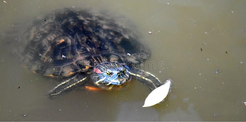 Tortuga, resbalador Rojo-espigado, en la ciudad de Martin Park Nature CenterOklahoma imagen de archivo