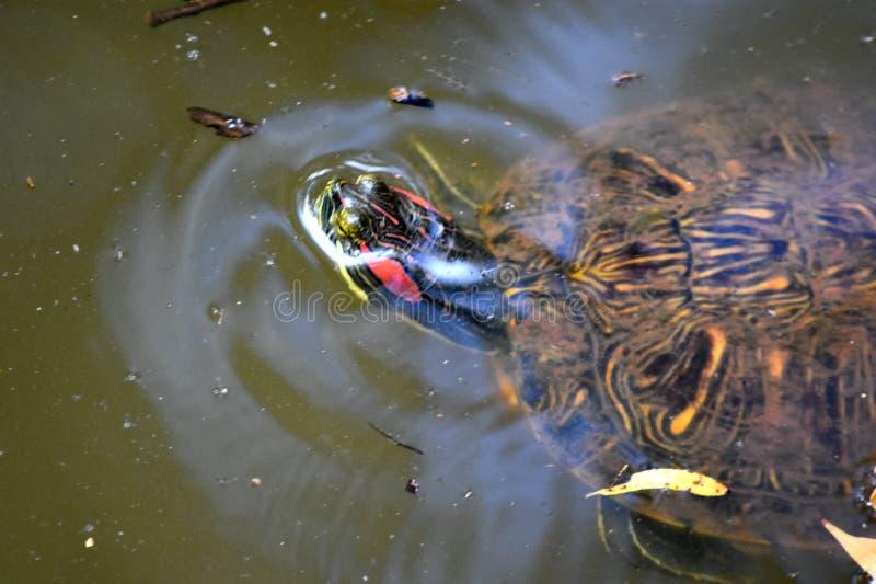 Tortuga, resbalador Rojo-espigado, en la ciudad de Martin Park Nature CenterOklahoma imagenes de archivo