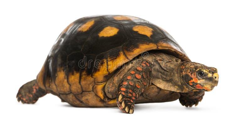 tortuga Rojo-con base, carbonaria de Chelonoidis, aislado foto de archivo