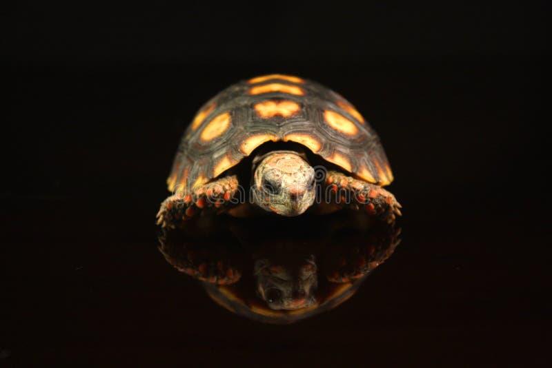 tortuga Rojo-footed imagen de archivo libre de regalías