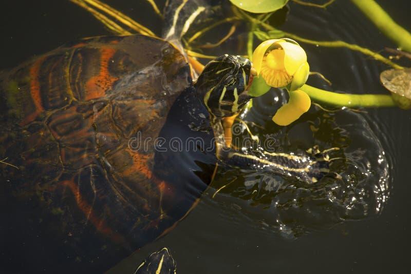 tortuga Rojo-hinchada del cooter en parque nacional de los marismas del ` s de la Florida fotografía de archivo